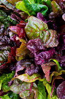 Colorful Swiss Chard Leaves