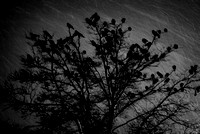 Crows in a Winter Storm